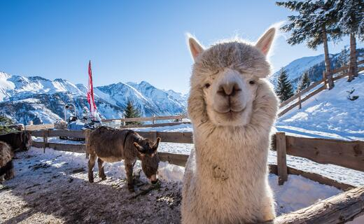 The petting zoo with alpacas, woolly pigs, chicken, bunnies and donkeys is worth a visit in summer as well as in winter.  | © Kitzsteinhorn